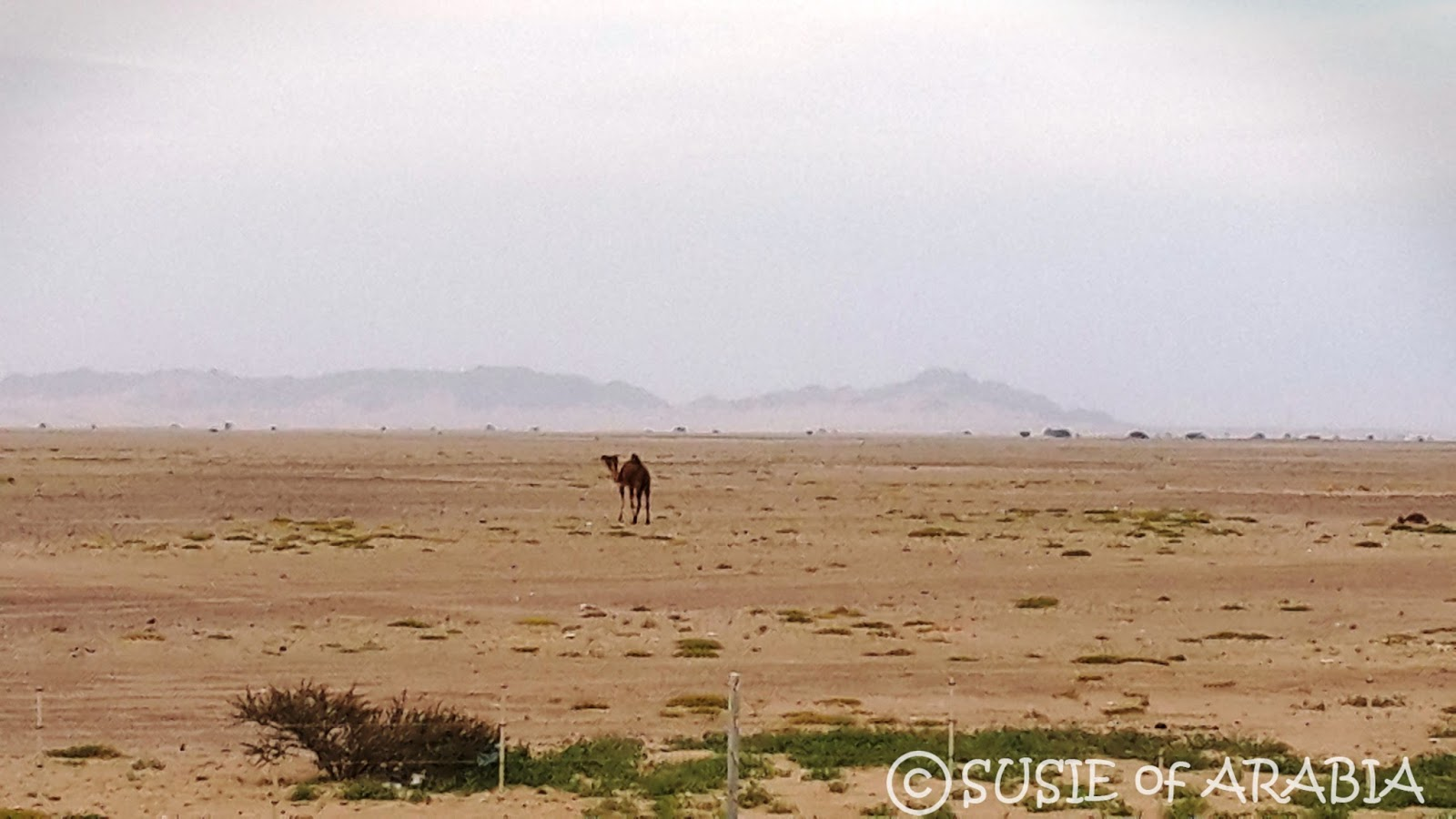 Jeddah Daily Photo: Saudi Arabia Desert Camel and Goats