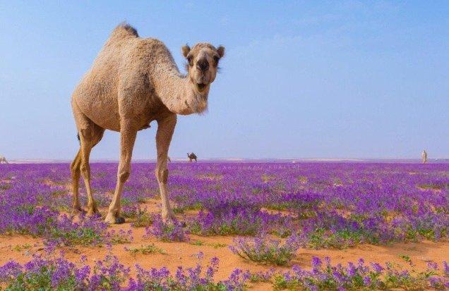 flower-desert-saudi-arabia